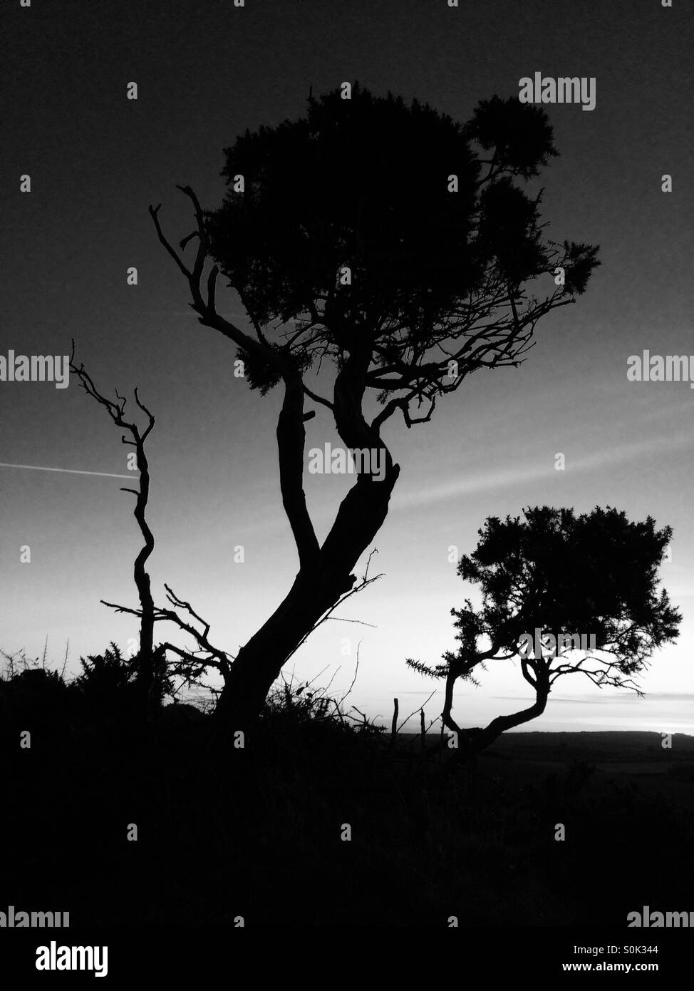 Trees at dusk, silhouette, black and white, Cornwall, England, UK. - Stock Image
