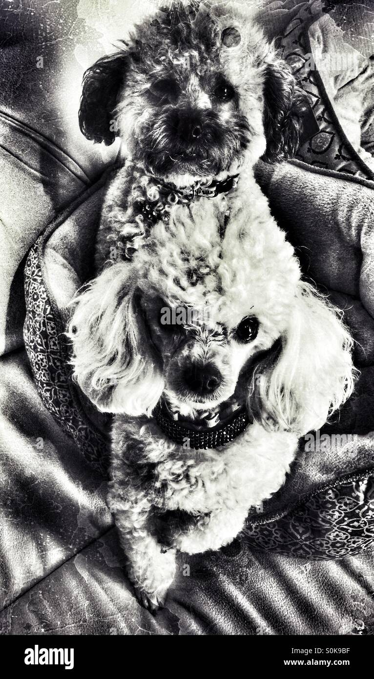 Poodles black and white - Stock Image