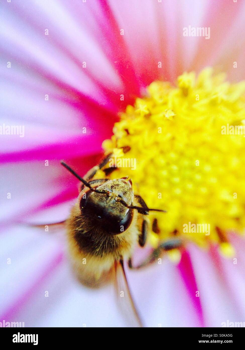 Honey bee pollinating a cosmos flower Stock Photo