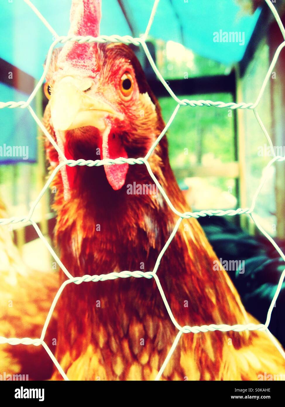 Intrigued Chicken staring at camera - Stock Image