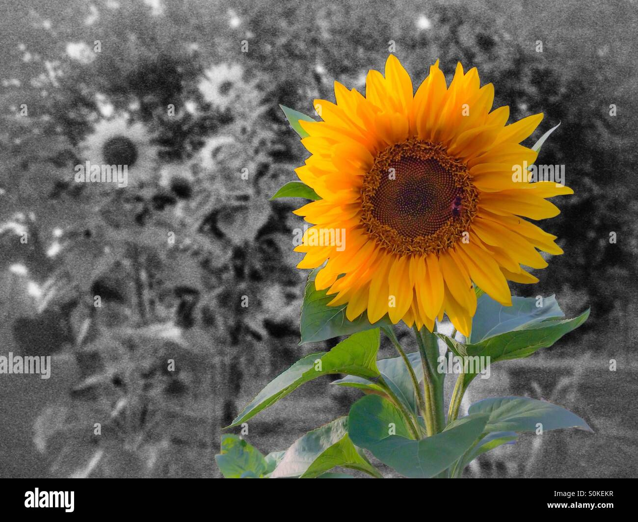 A Sunflower In Full Bloom Black And White Background With Several Sunflowers