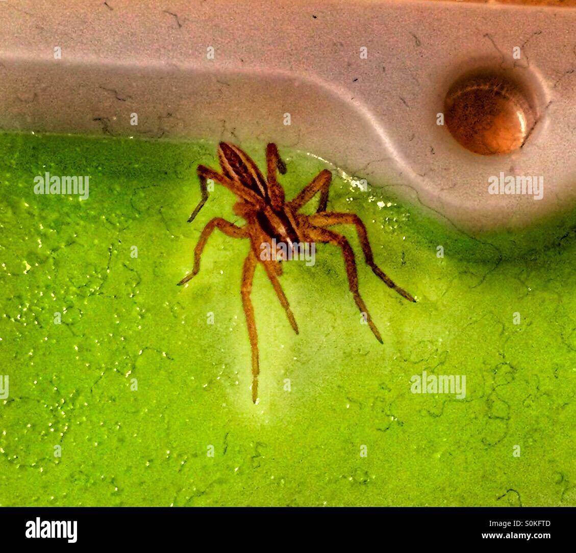 Spider stuck on sticky trap Stock Photo