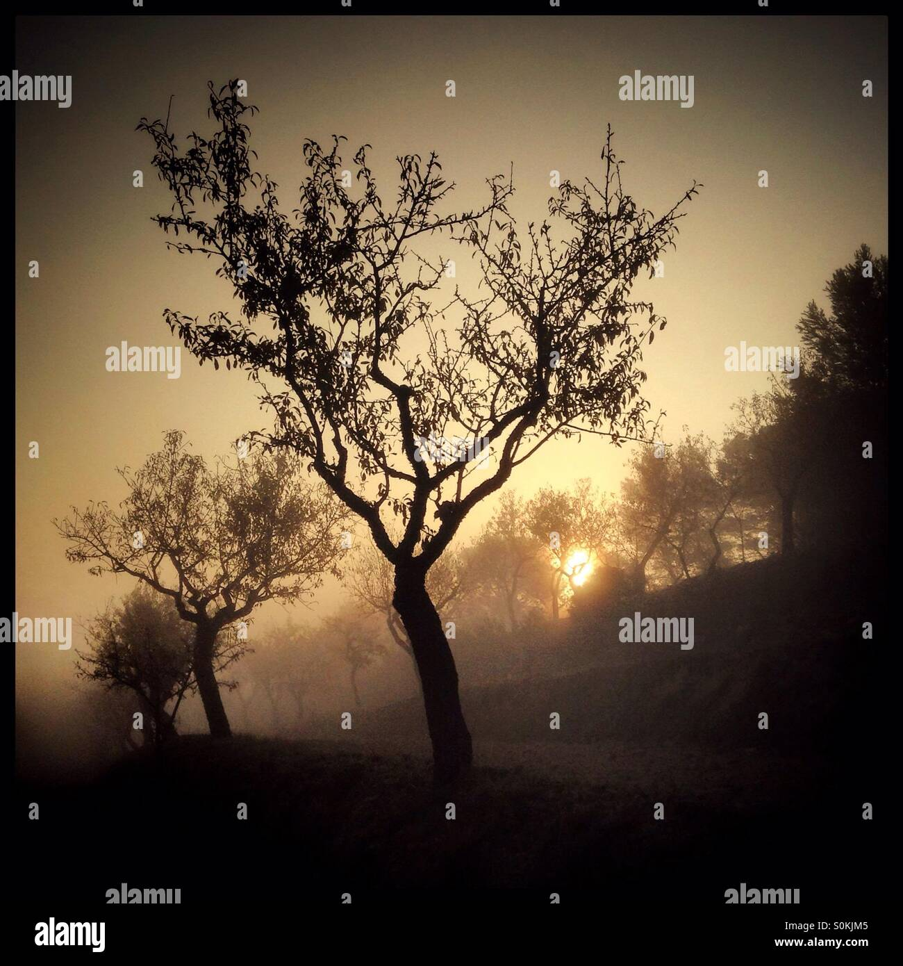 Autumn mists roll in across the almond terraces against a rising Sun, Catalonia, Spain. - Stock Image