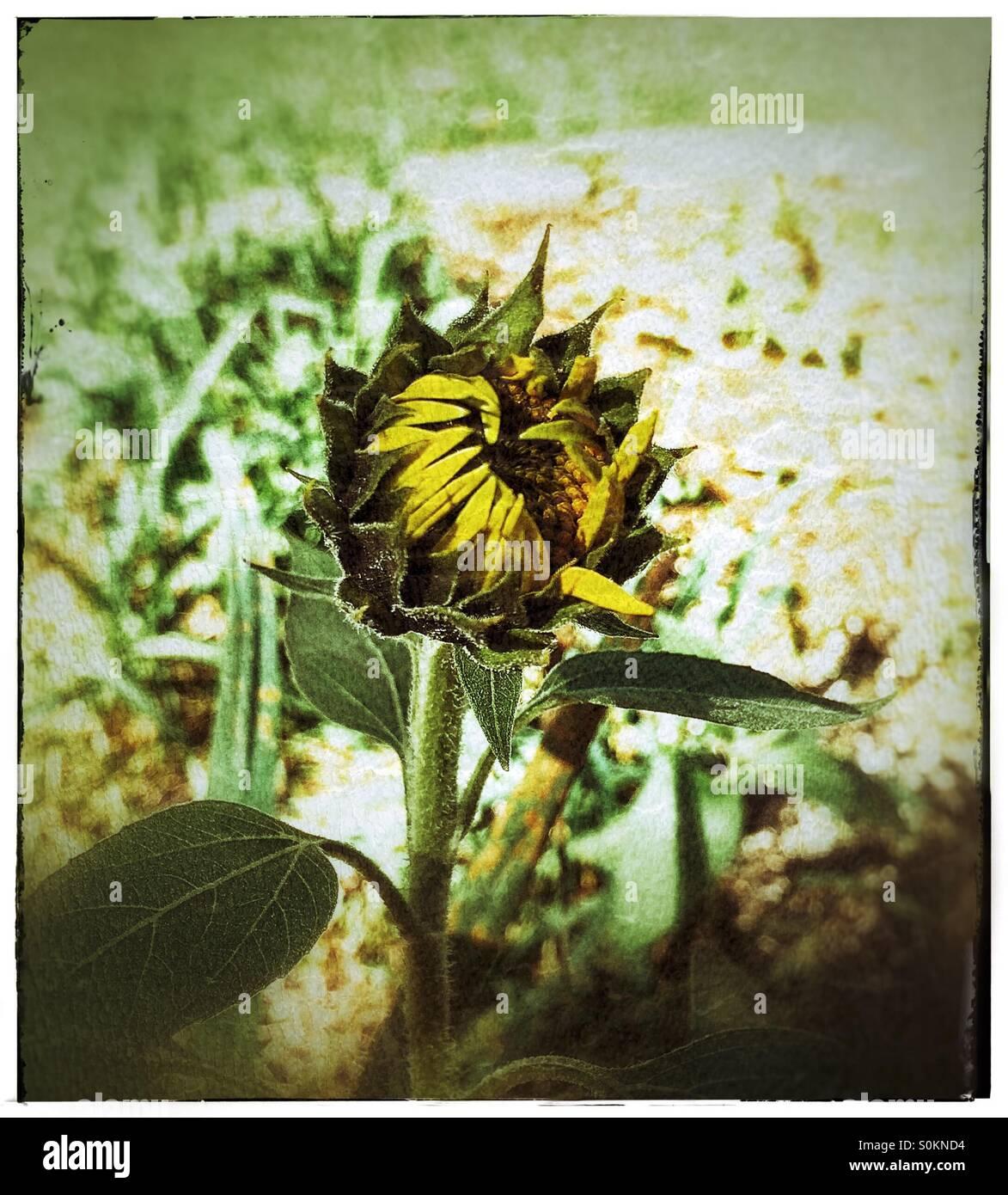Unopened Sunflower - Stock Image