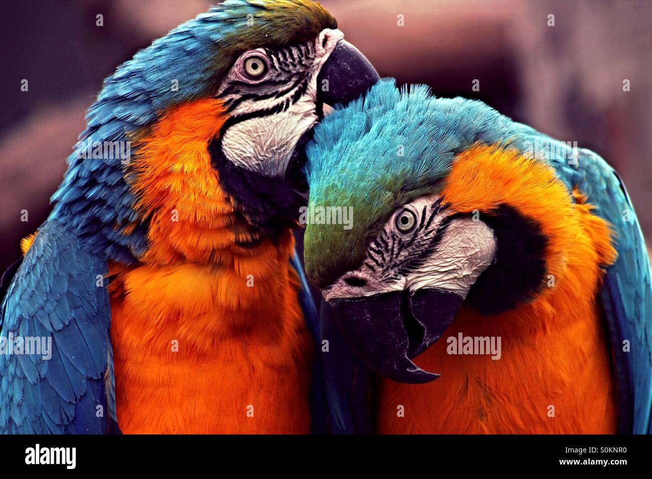 Parrot love - Stock Image