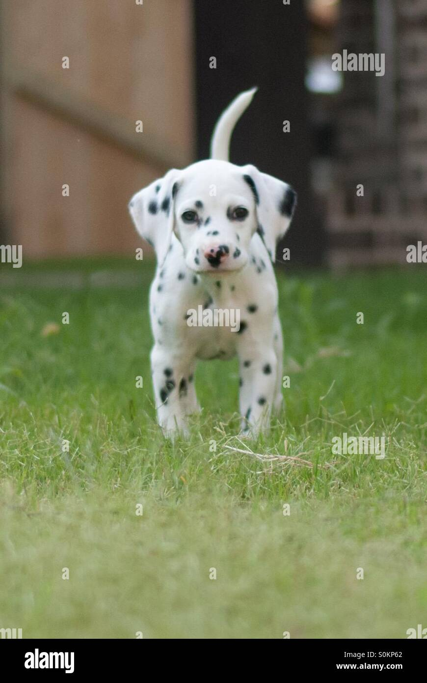 8 week Dalmatian puppy. Black and white spots. Dog. - Stock Image