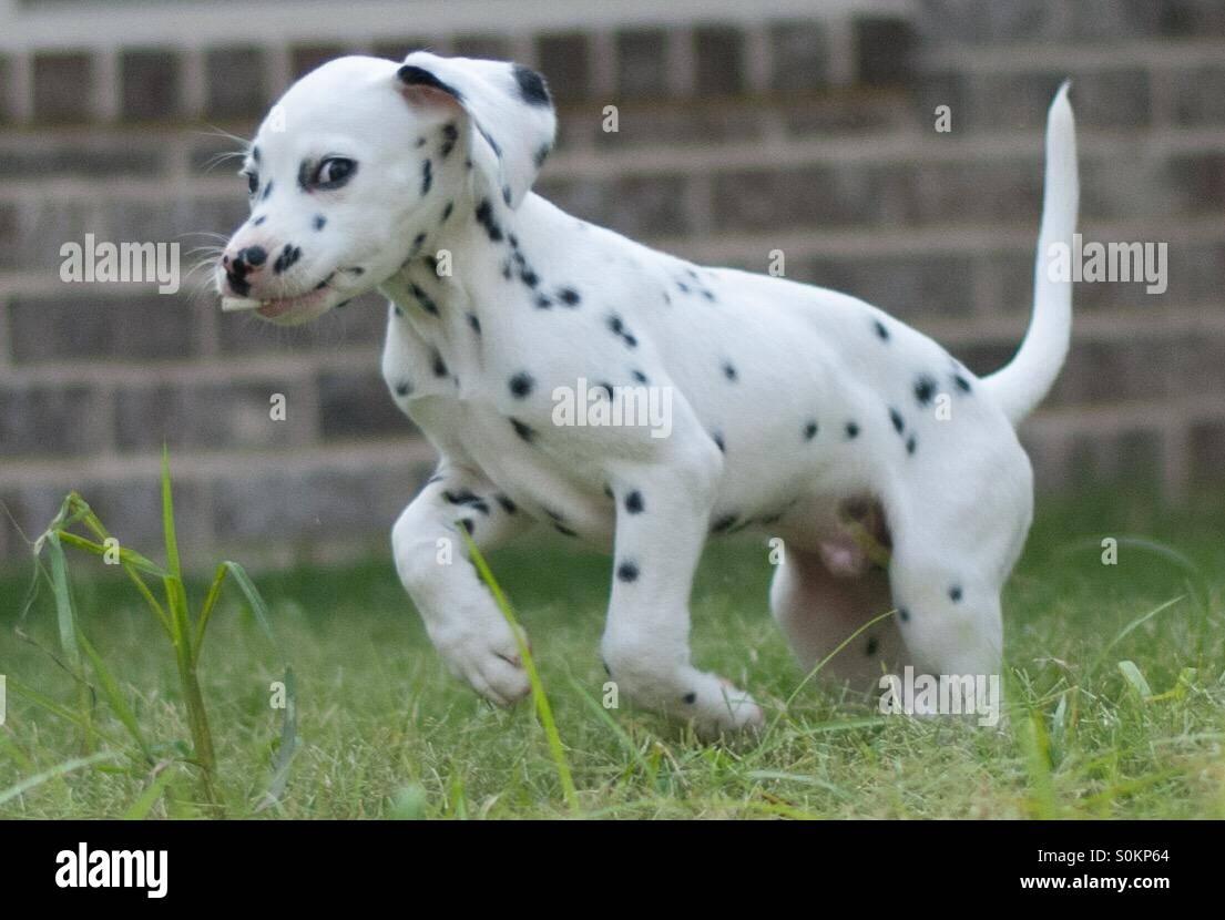 Dalmatian puppy smoking a cigarette - Stock Image