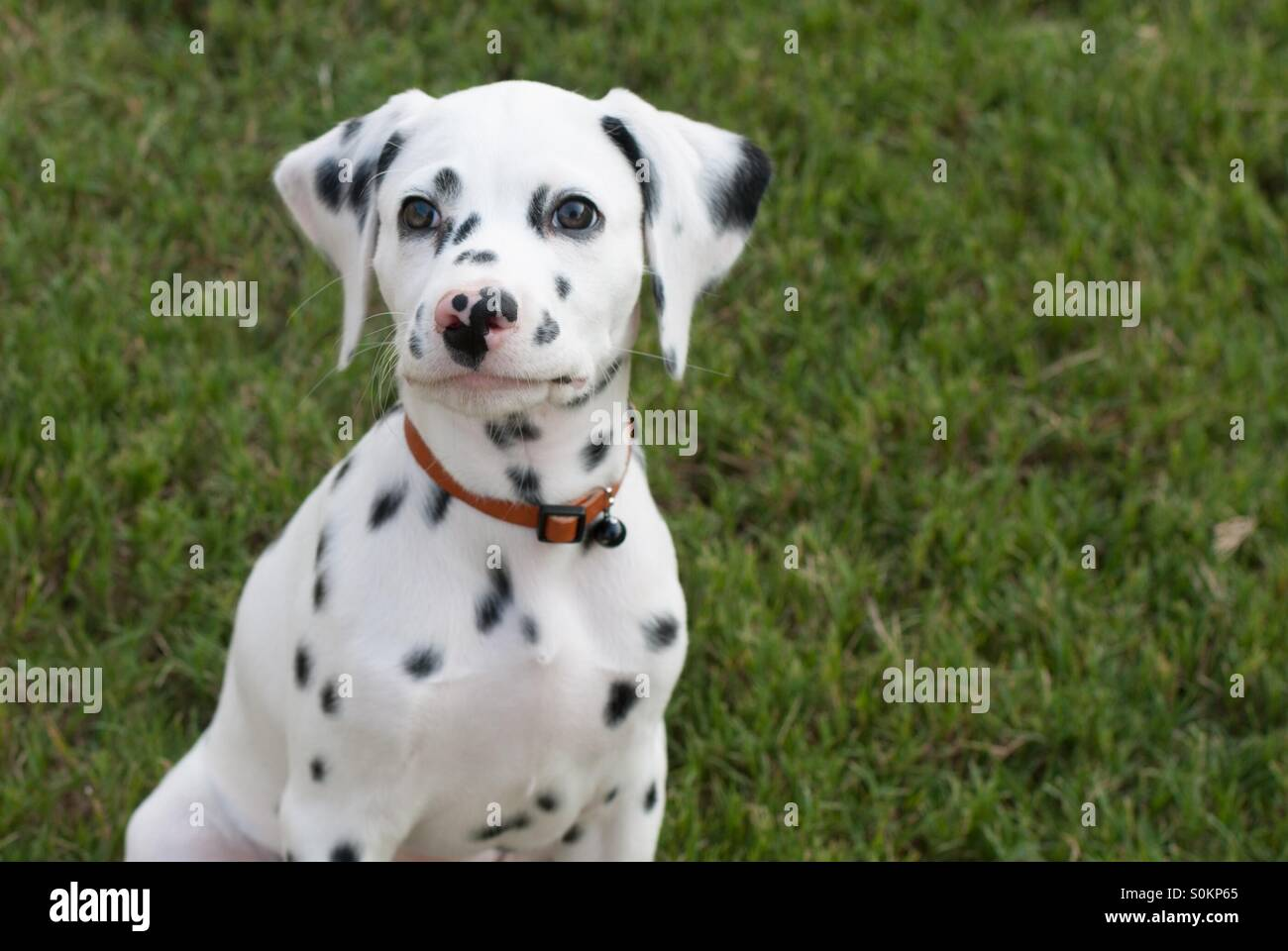 14 week old Dalmatian puppy - Stock Image