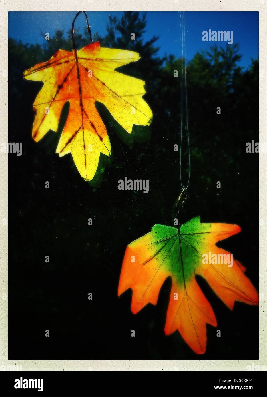 Colorful  autumn leaves hinging on a window - Stock Image