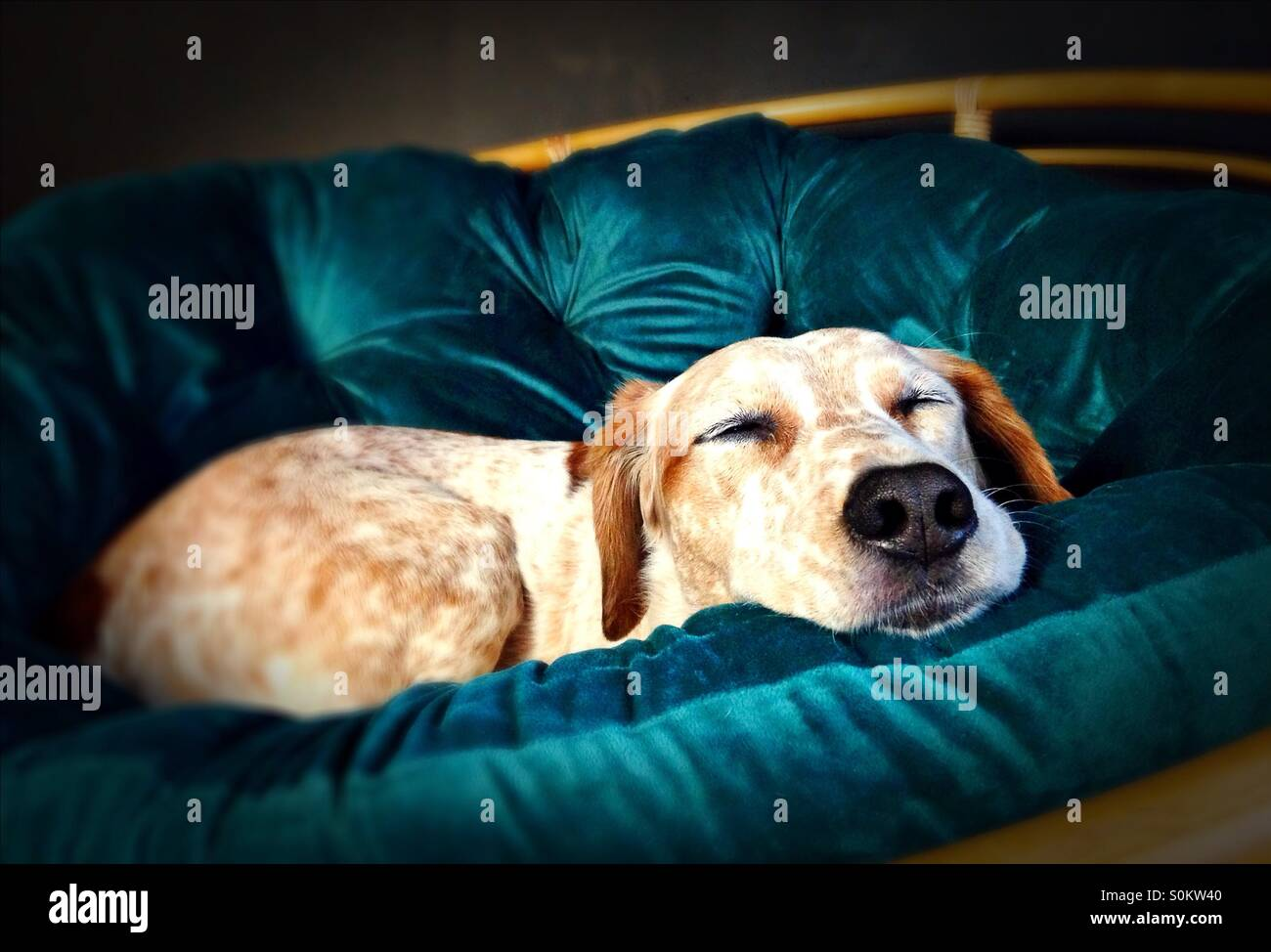 A dog sleeping on a chair. - Stock Image
