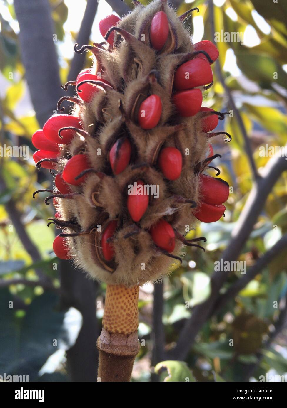 Magnolia Seeds Stock Photos Magnolia Seeds Stock Images Alamy