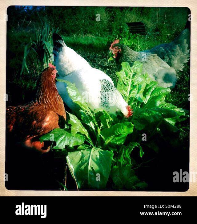 Hens on the allotment - Stock Image
