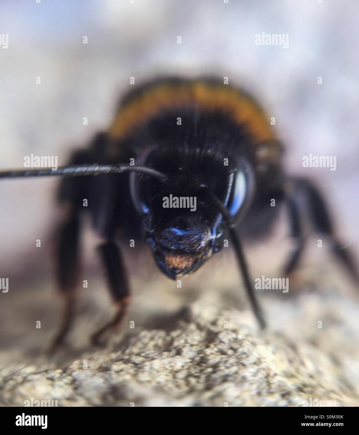 Close up of bee - Stock Image
