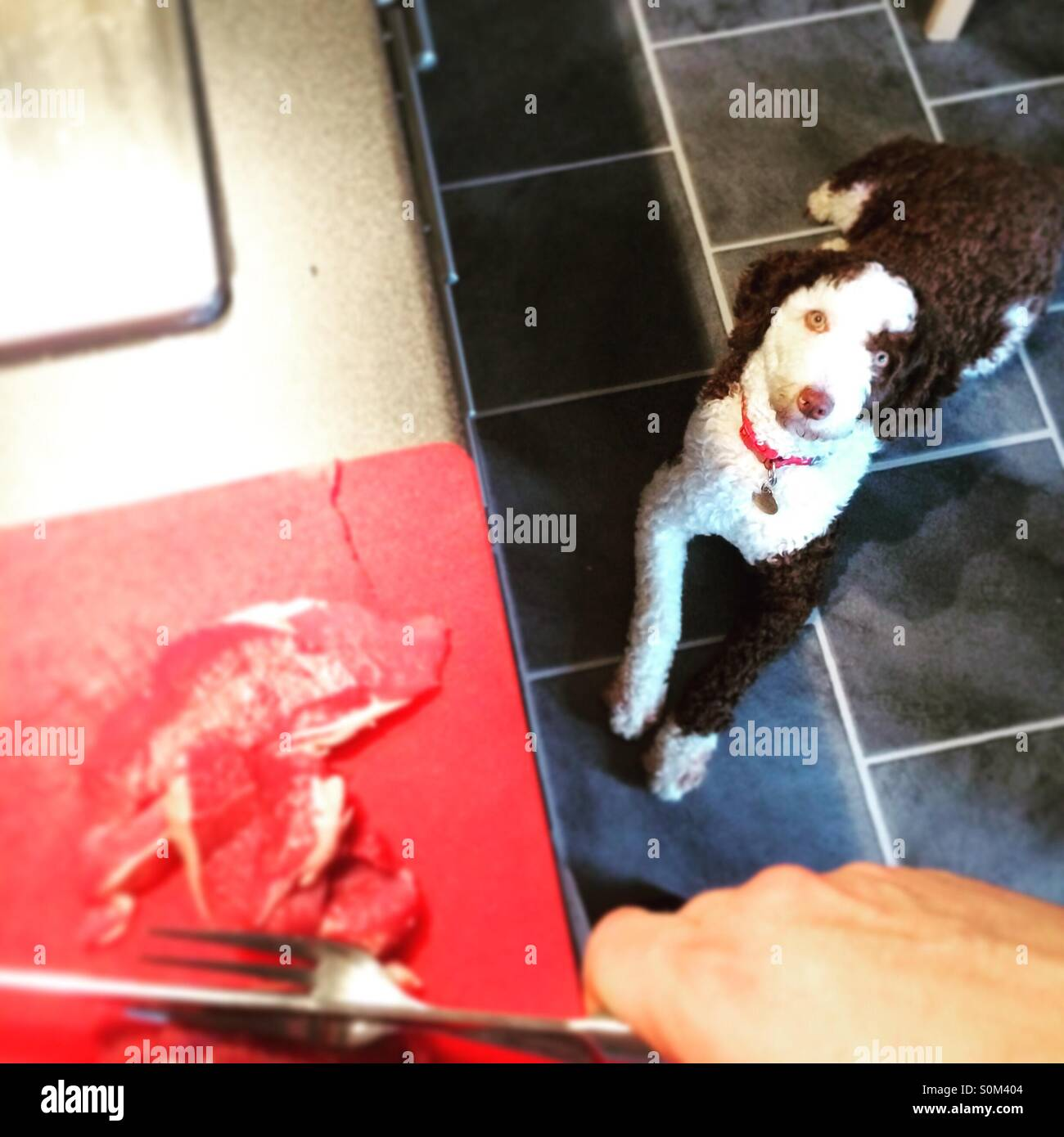 Dog watching meat being prepared Stock Photo