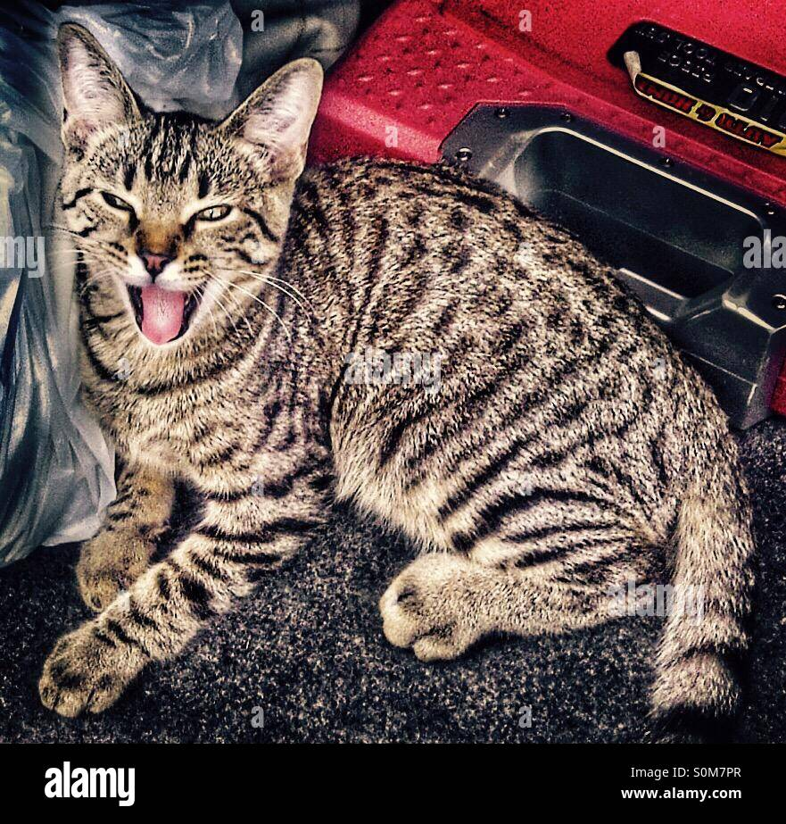 Cat yawning - Stock Image