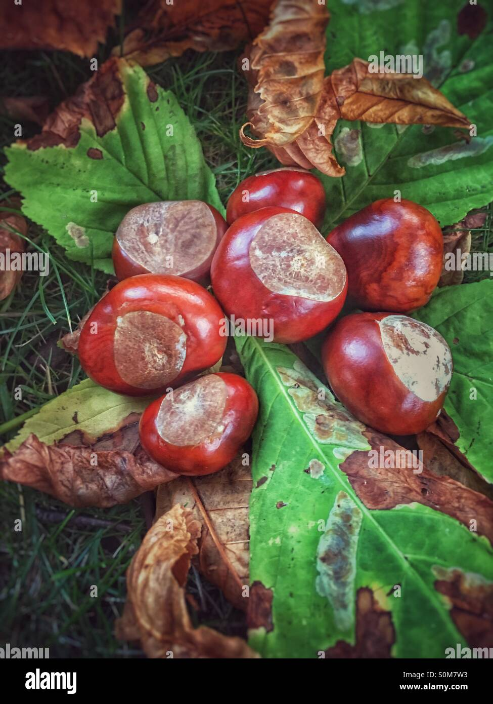 how to grow horse chestnut from seed