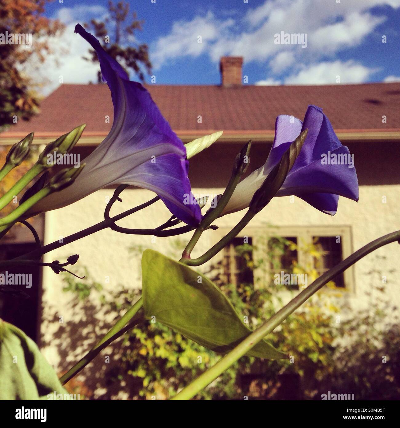 Morning glories blooming in garden - Stock Image