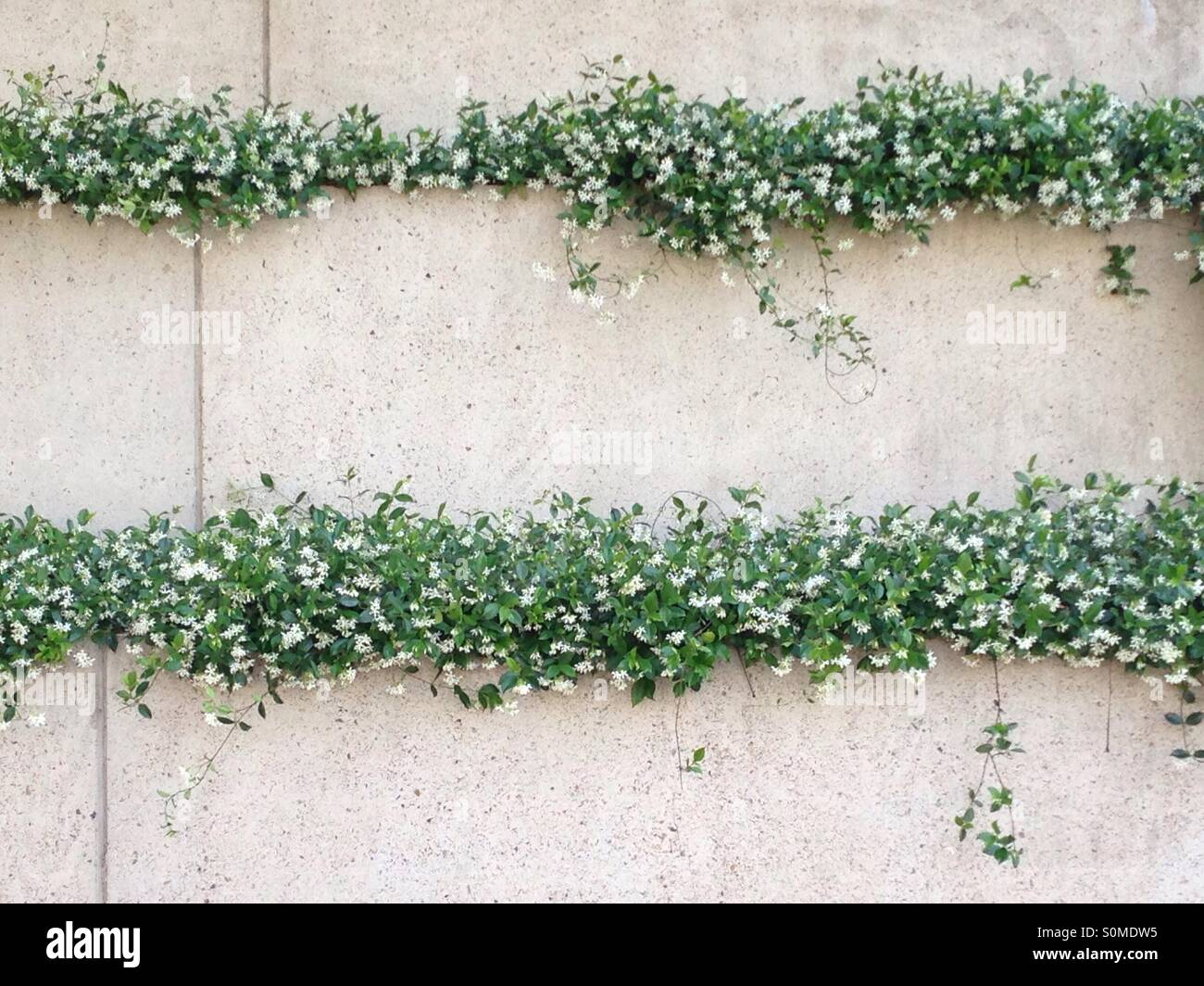 Star Jasmine planted on vertical wall Stock Photo