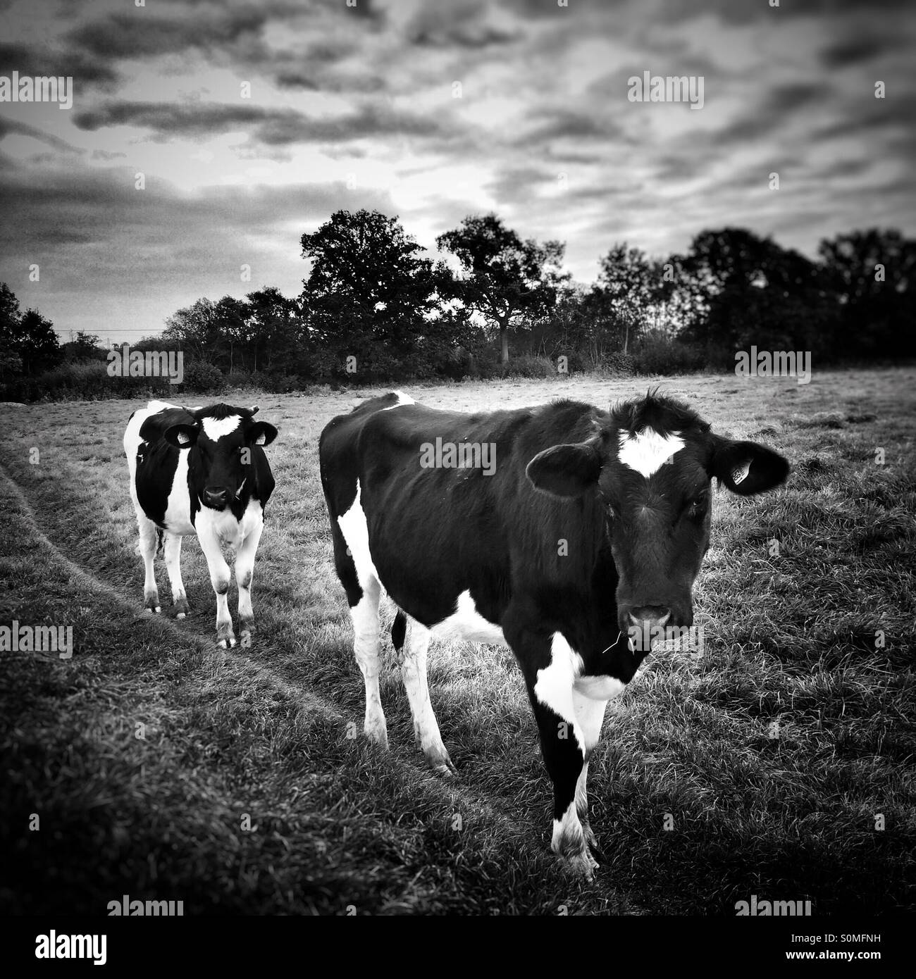 Cows strolling along path - Stock Image