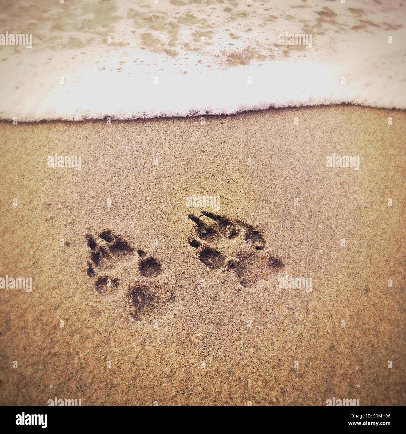 96bdf8fb1 Dog paw prints in the sand at the beach Stock Photo  310239250 - Alamy