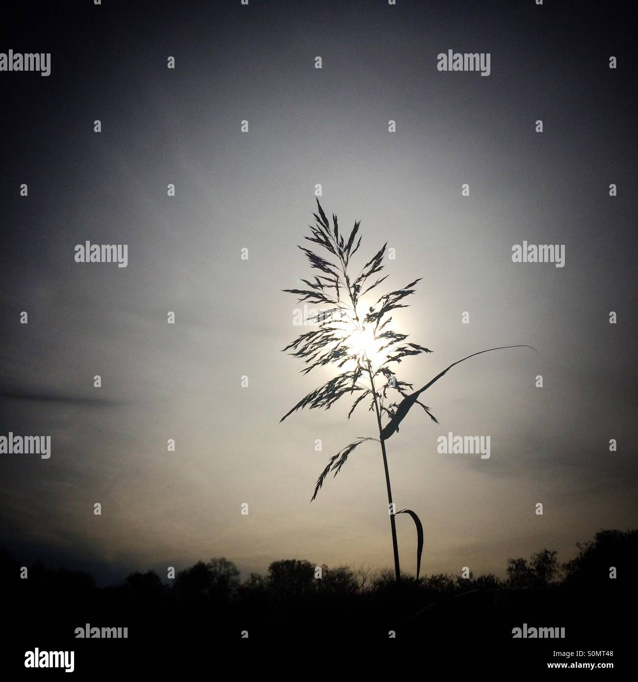 Grass seed head against sky - Stock Image
