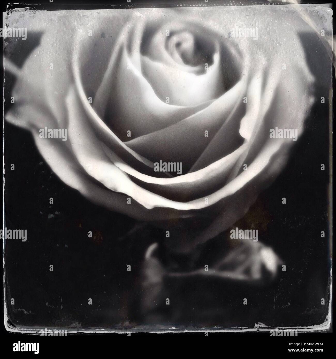 Vintage wet plate like black and white photo of a single rose, shot close up from above - Stock Image