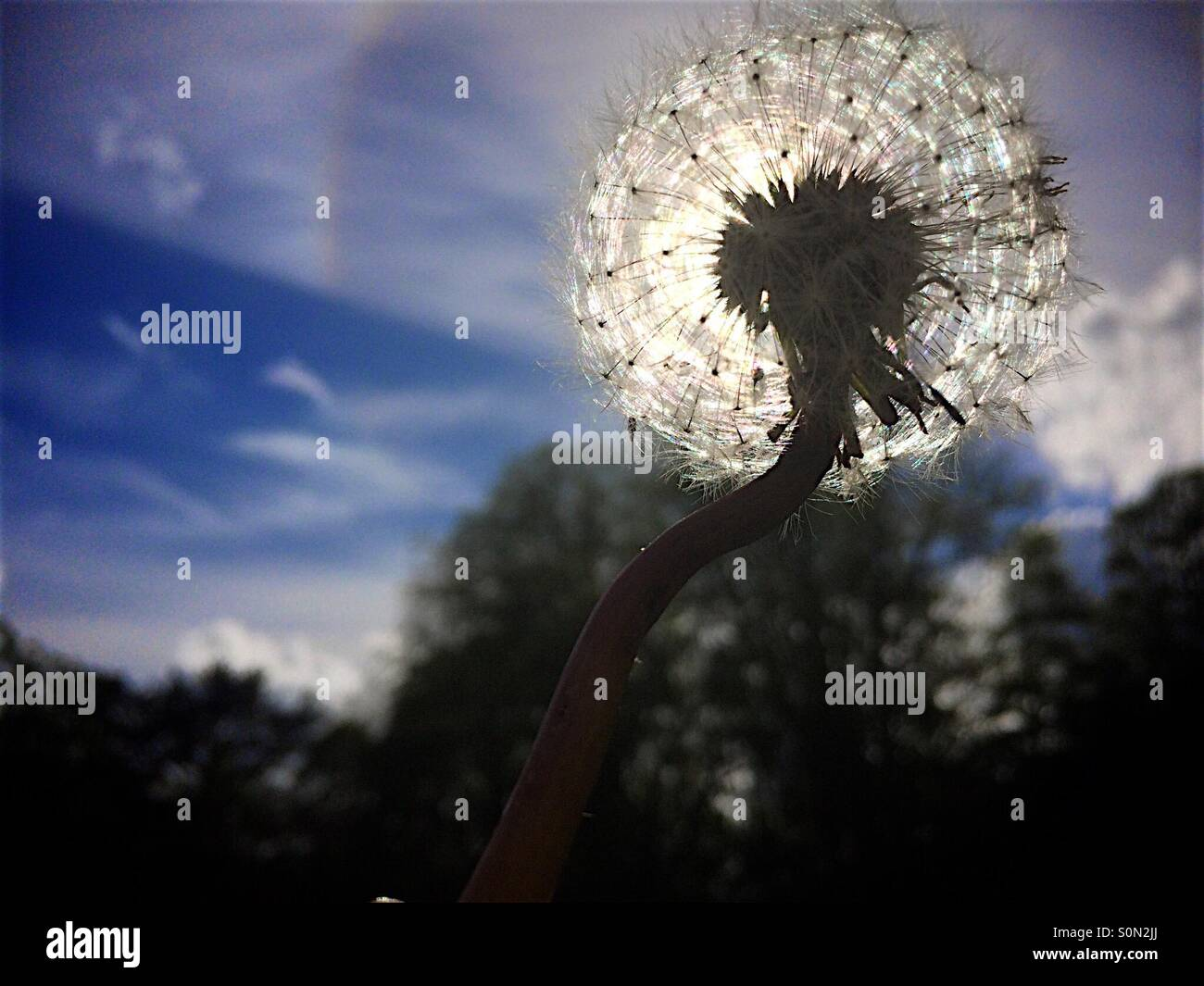 Low angle back it close up of Dandilion flower head - Stock Image