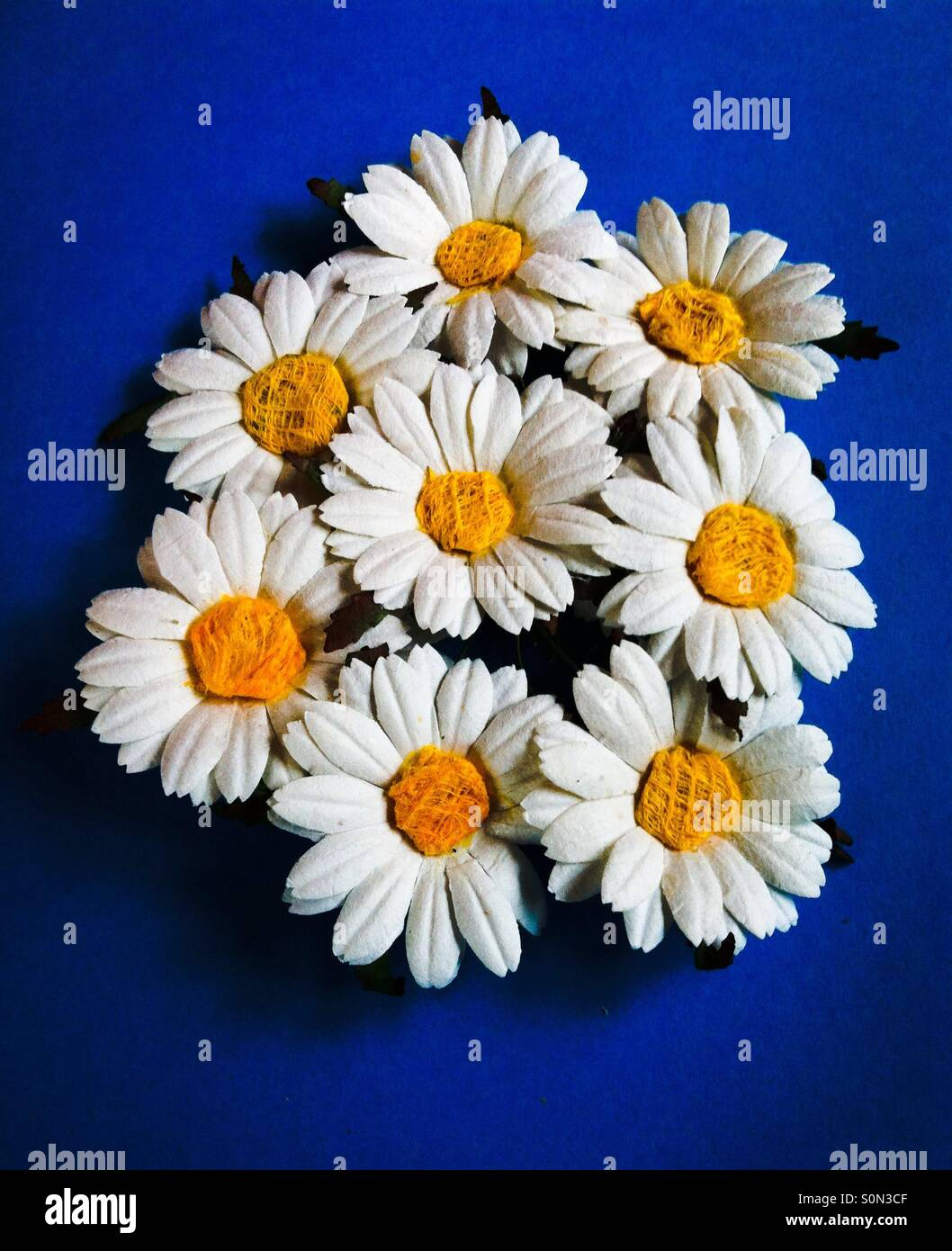 Paper daisies - Stock Image