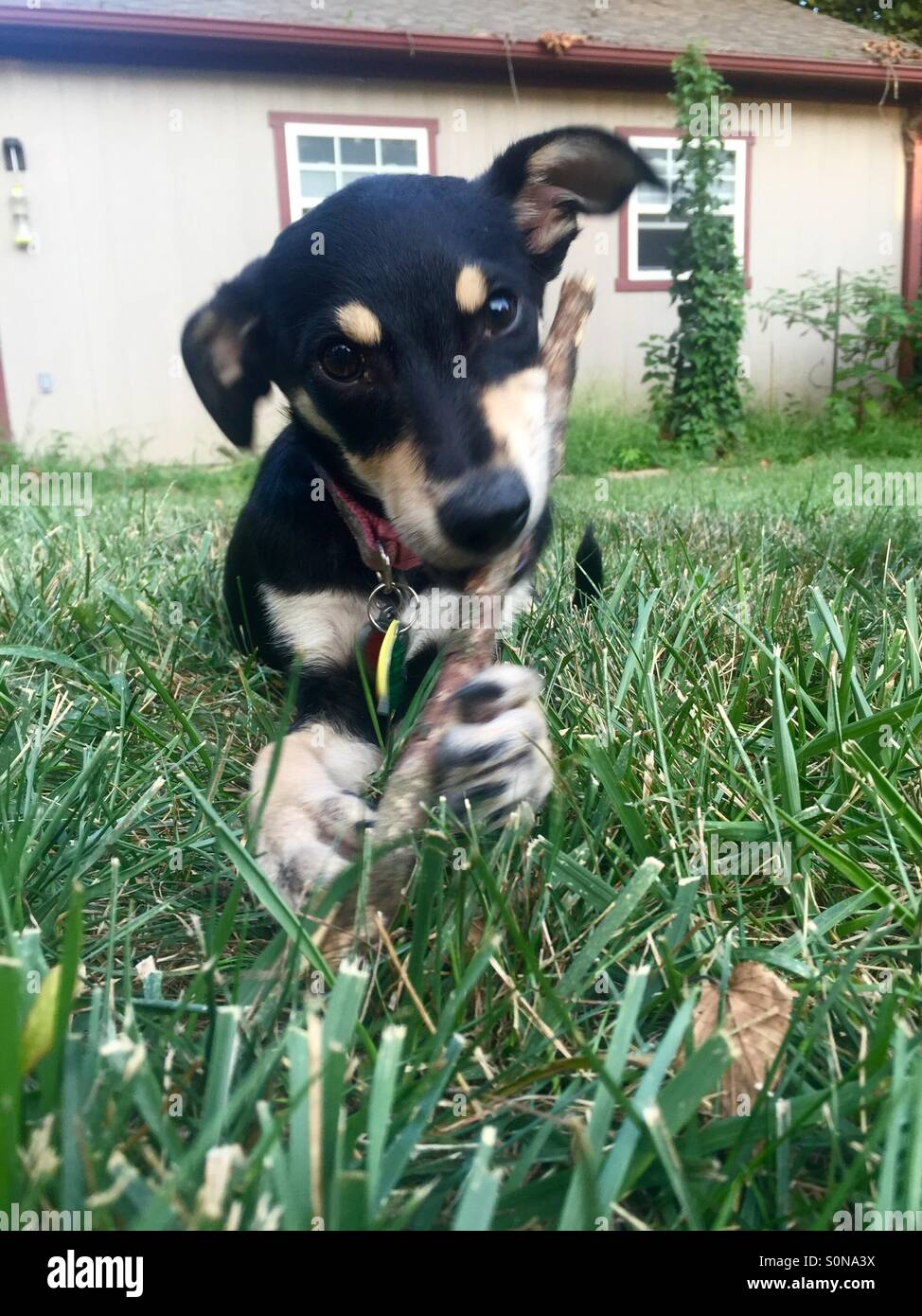 Teething puppy playing outside - Stock Image