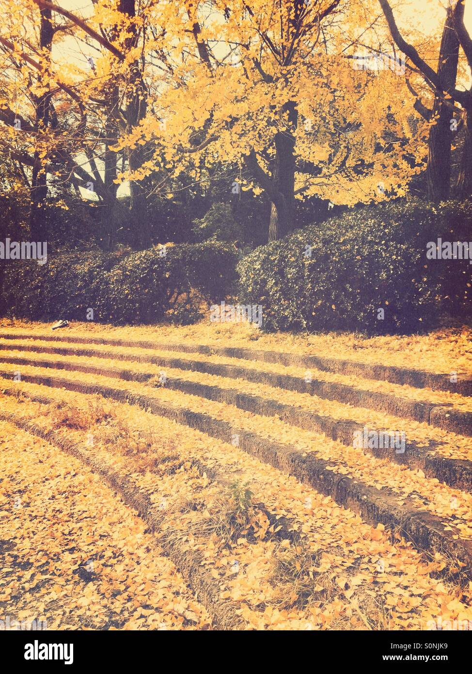 Outdoor stairs at park covered with yellow leaves fallen from Gingko trees.Stock Photo