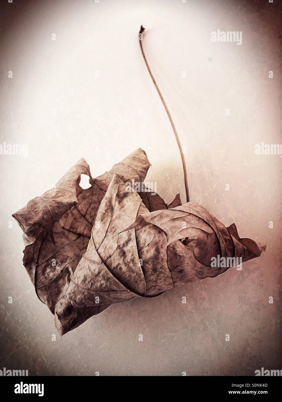 A dry, dead leaf. - Stock Image