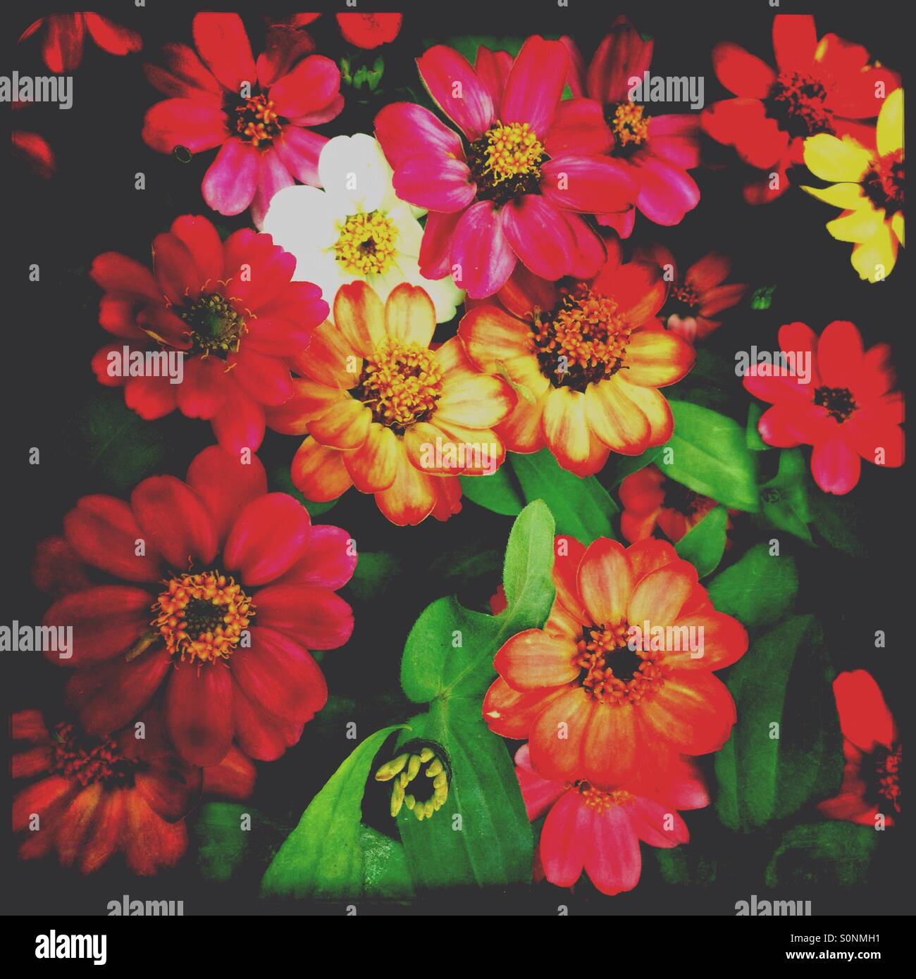 Zinnia flowers with art filter - Stock Image