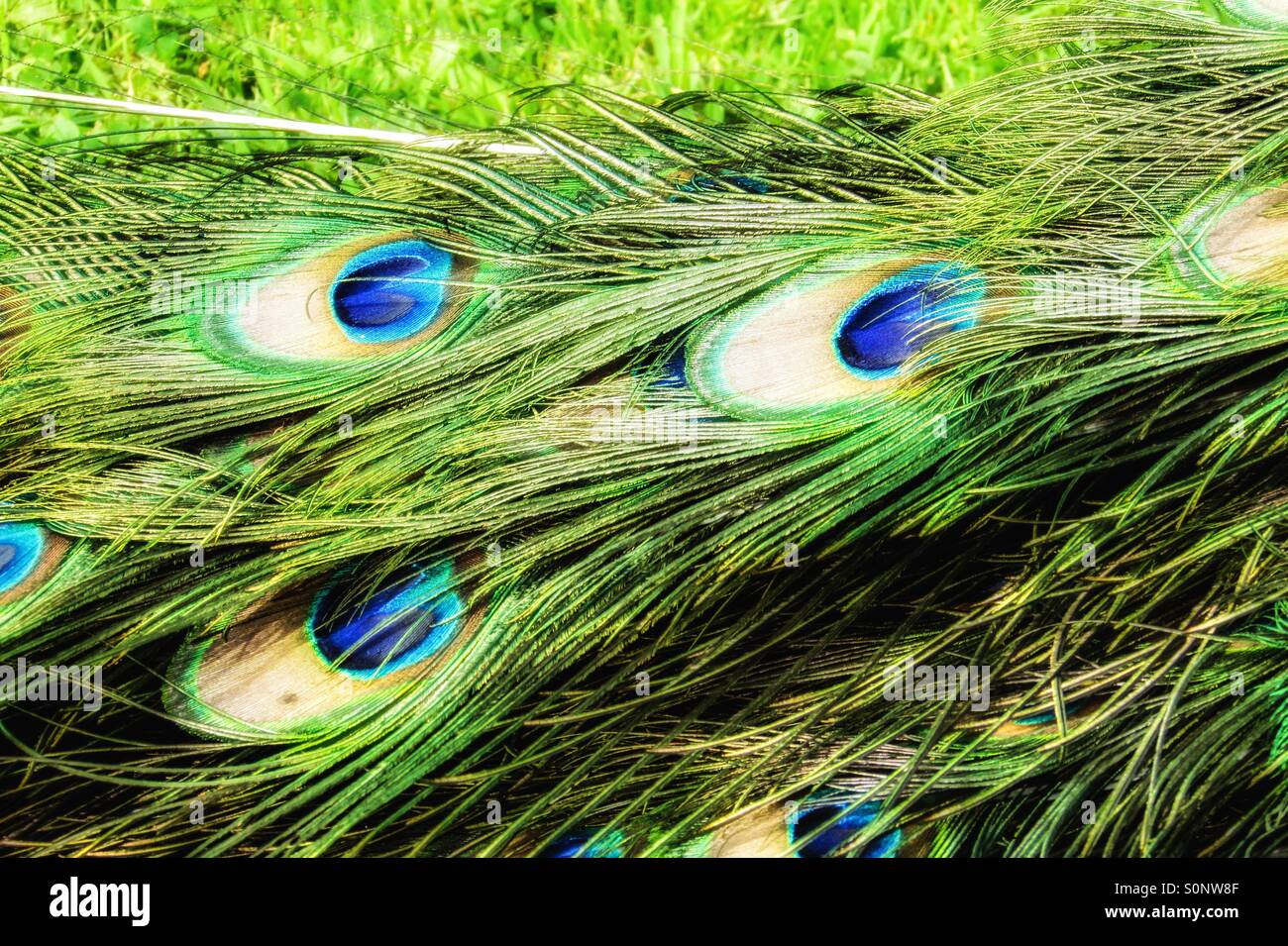 Peacock feathers - Stock Image