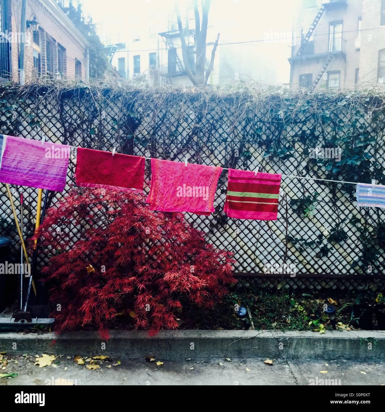 crimson laundry, red dwarf maple - Stock Image