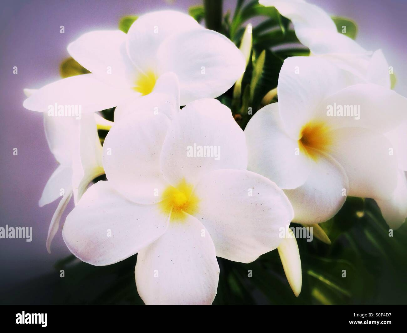 White yellow tropical flowers stock photos white yellow tropical white tropical flowers stock image mightylinksfo