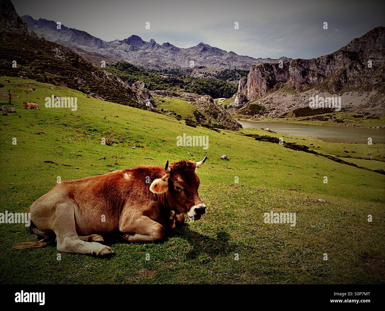 Cow in a pasture at Covadonga Lakes in Picos de Europa, Asturias - Spain - Stock Image
