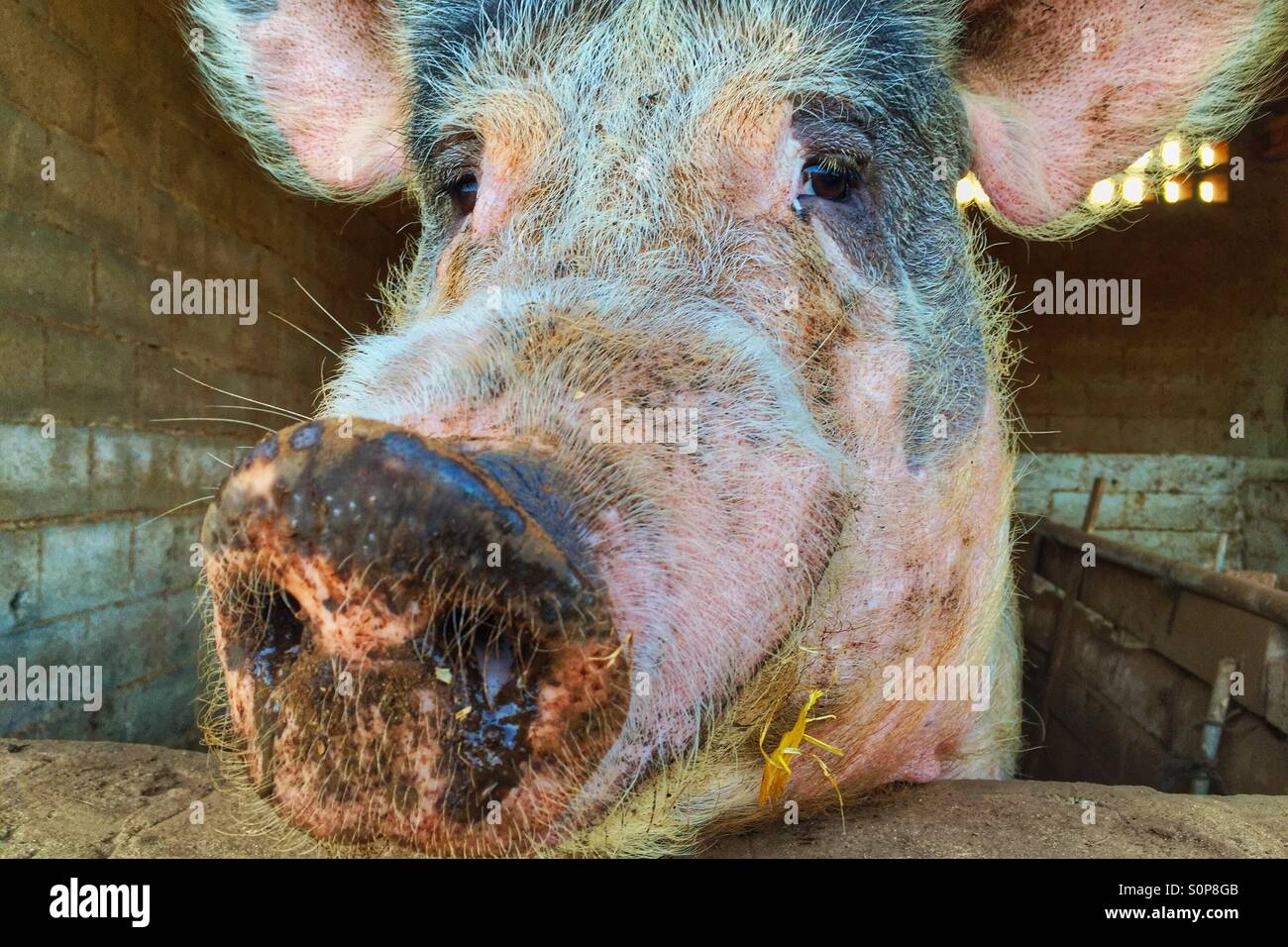 Pig face - Stock Image