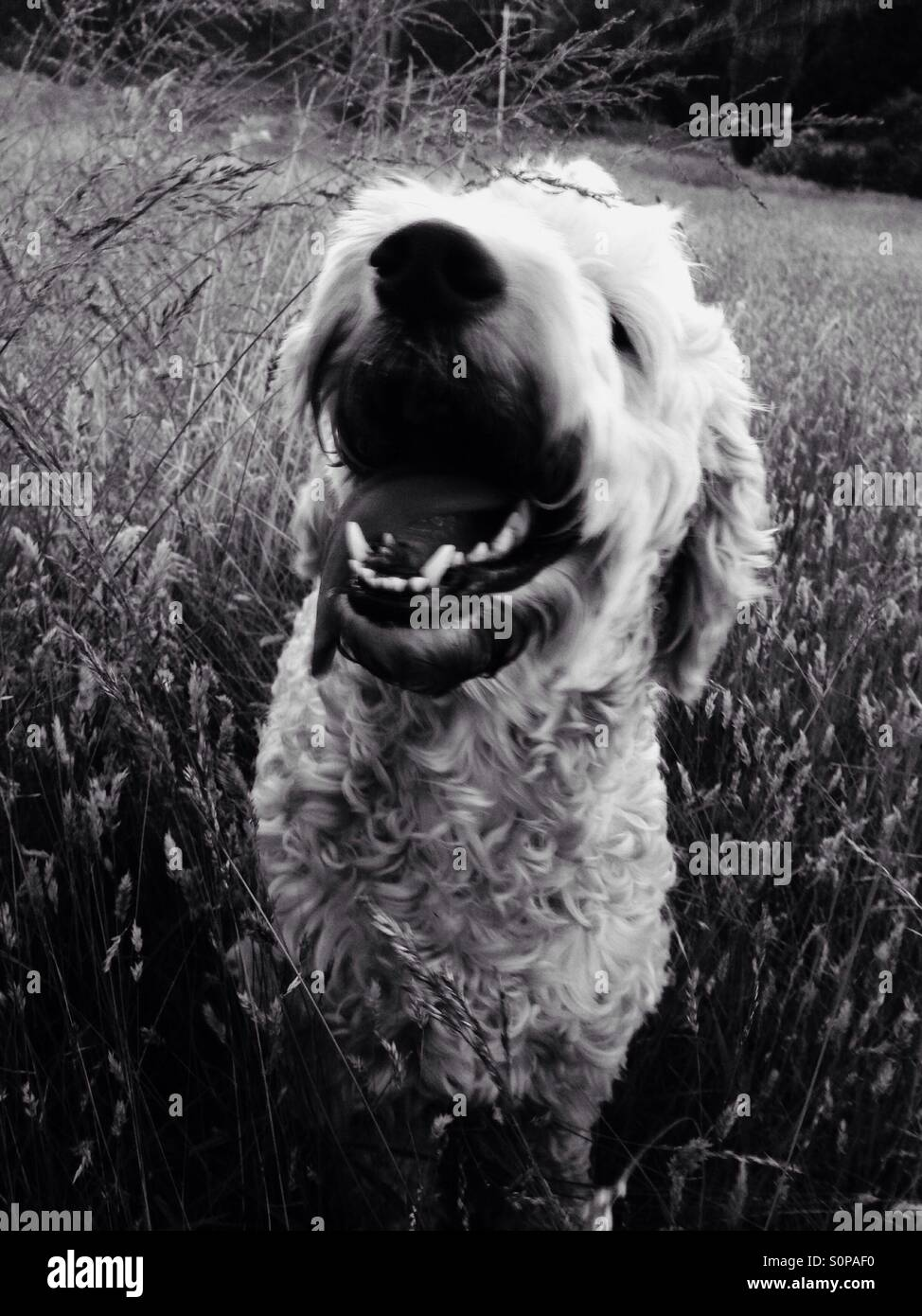 Black and white photo of a smiling dog in the field - Stock Image