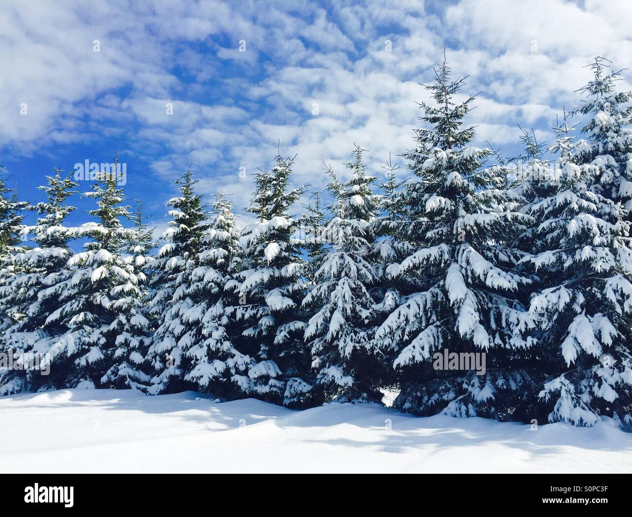 Pine cone trees stock photos pine cone trees stock - Images of pine trees in snow ...