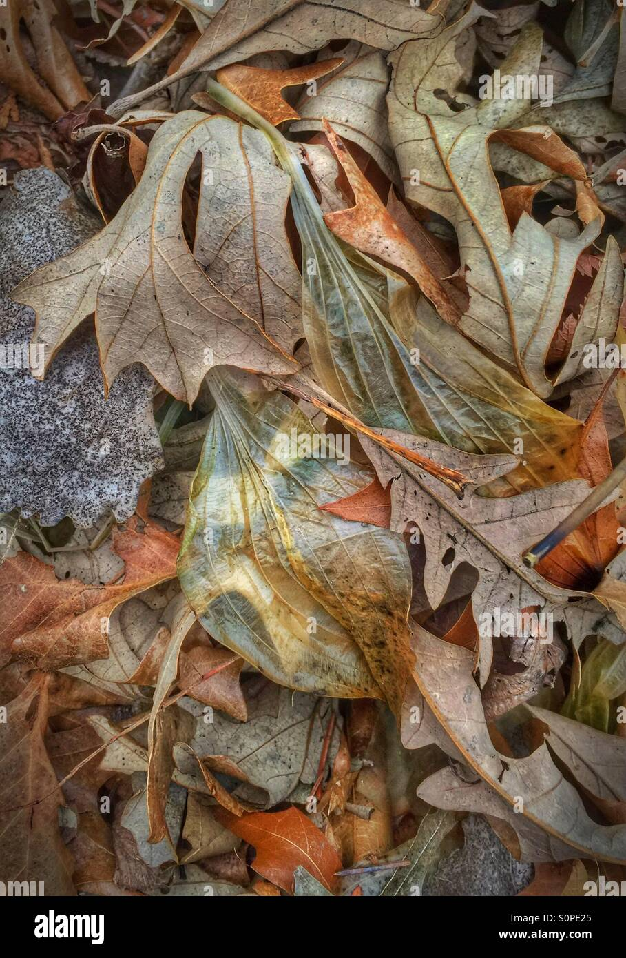 Decaying leaves in winter, including those of Hosta Royal Standard which at this stage in their decomposing are - Stock Image