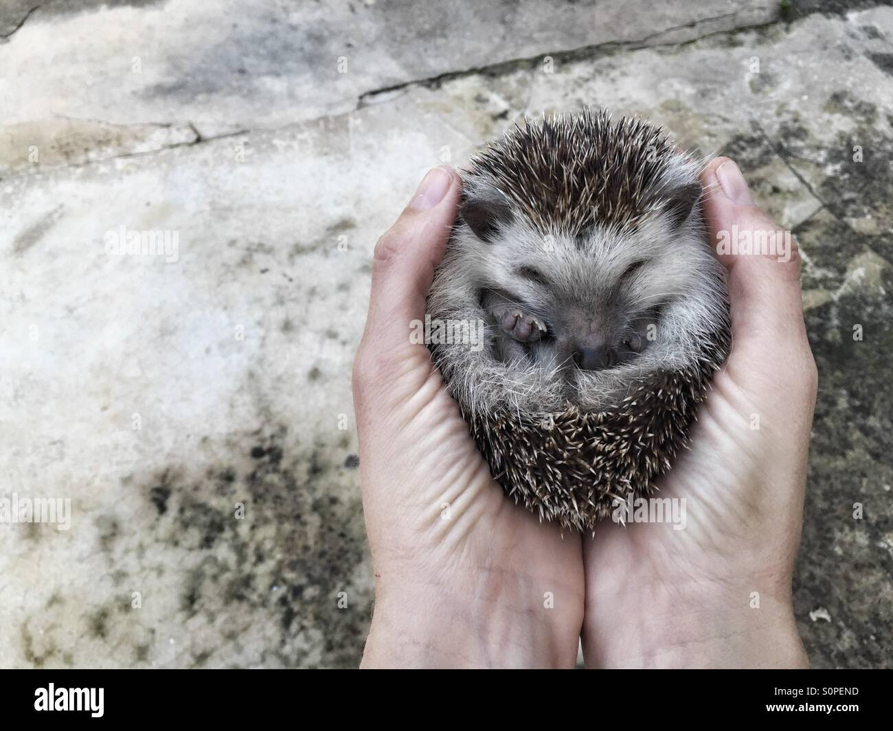 Hedgehog in hands - Stock Image