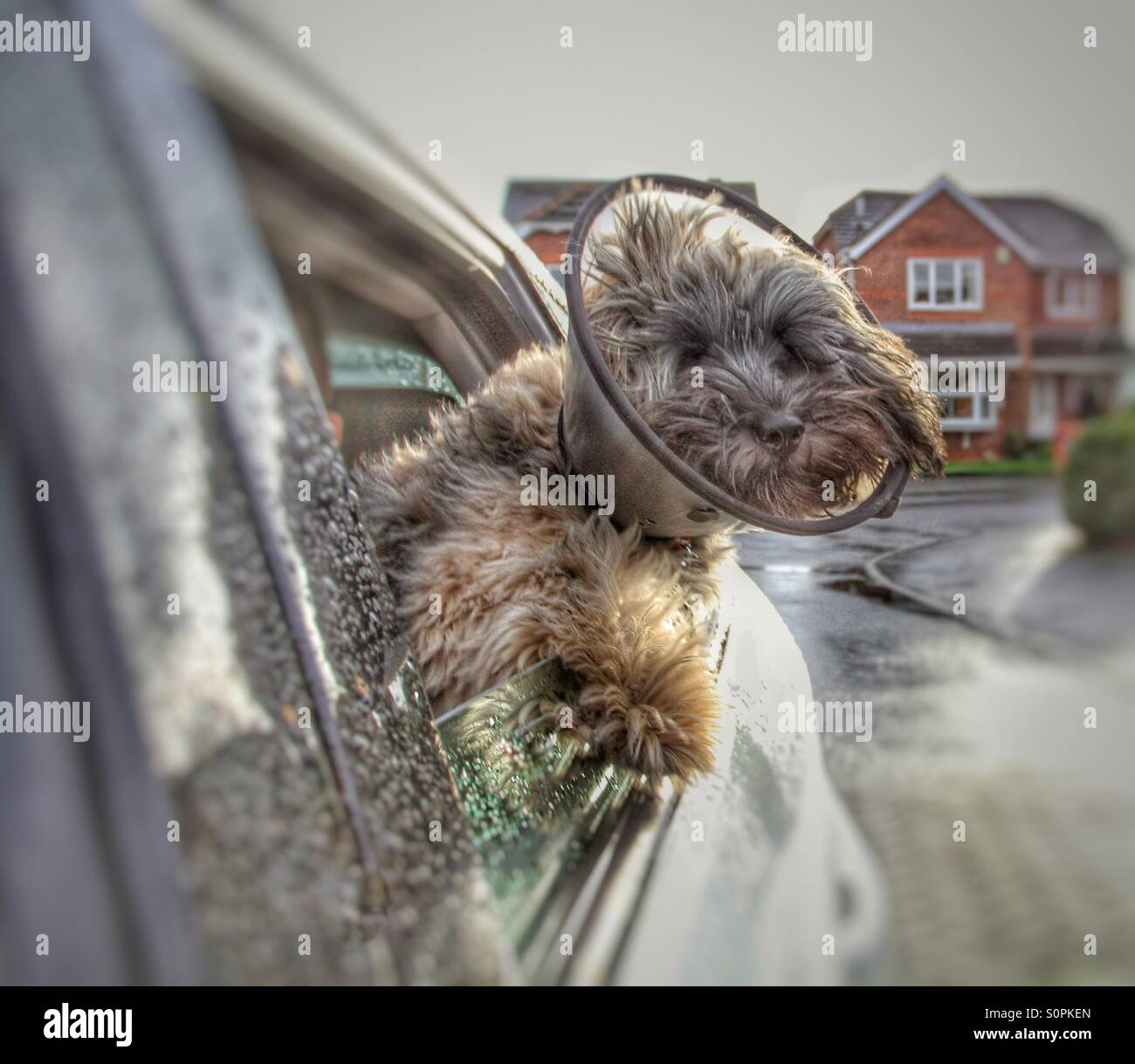 A poorly dog with a protective collar on getting some fresh air from the side window of a moving car. - Stock Image