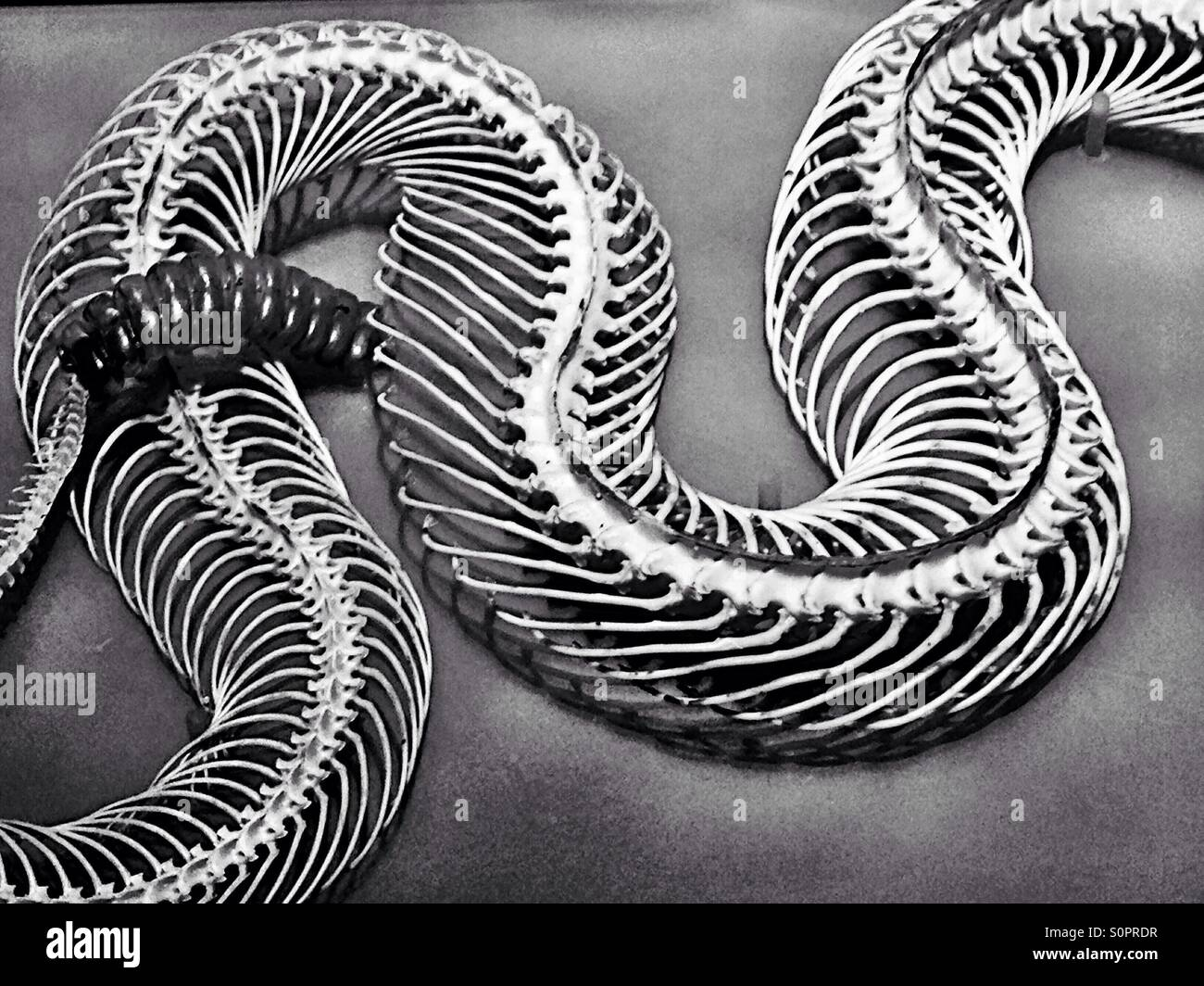 Rattlesnake skeleton in black and white - Stock Image
