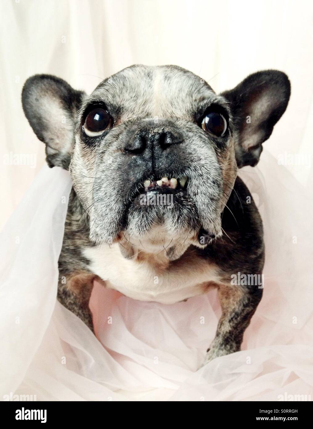 A close-up of a cute old French bulldog. - Stock Image