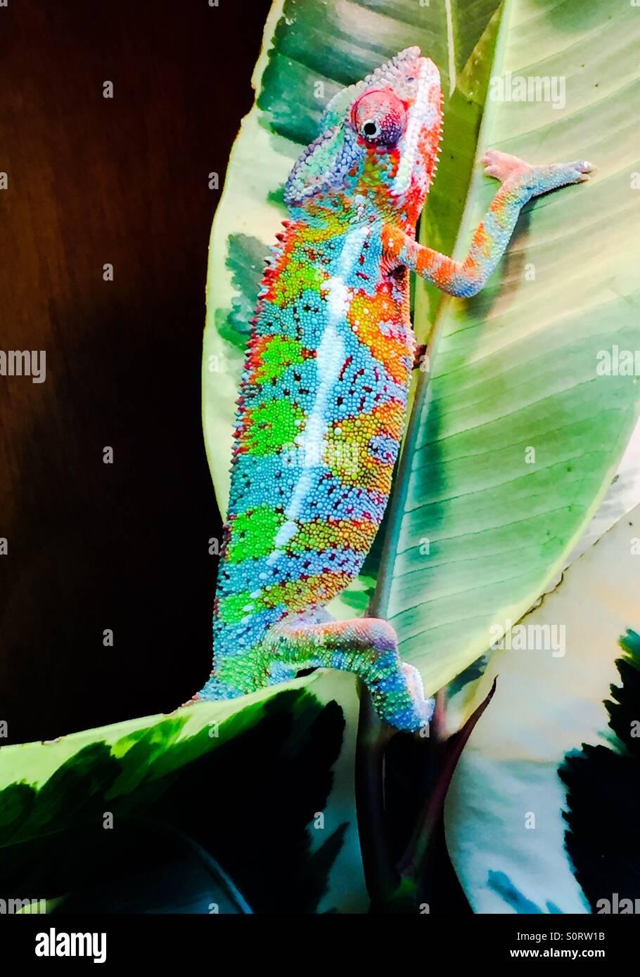 Ambilobe Panther chameleon - Stock Image
