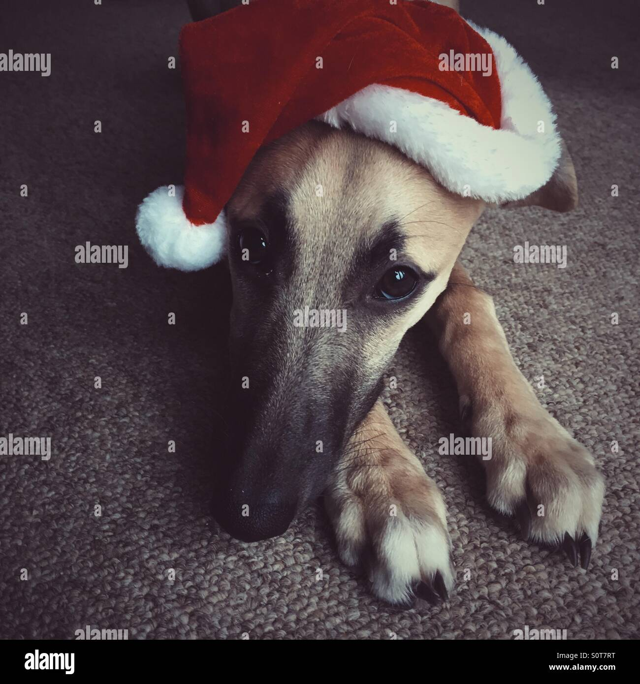 457b7010050d5 Portrait of a whippet dog in a Santa hat resting his her head on their paws
