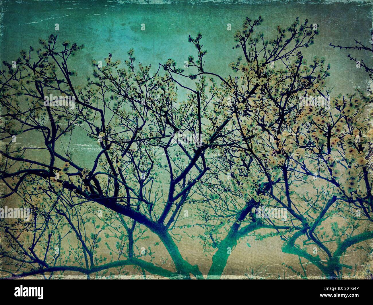 White plum blossoms and blue sky in Spring. Vintage paper texture overlay. Stock Photo