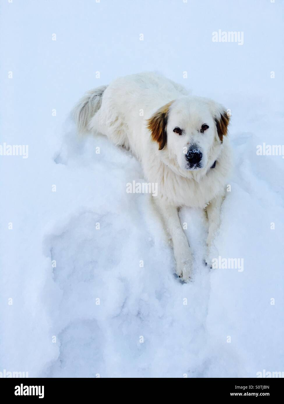 Snoopy, mixed breed came from a rescue. She is a Great Pyrenees, lab and heeler mix. - Stock Image