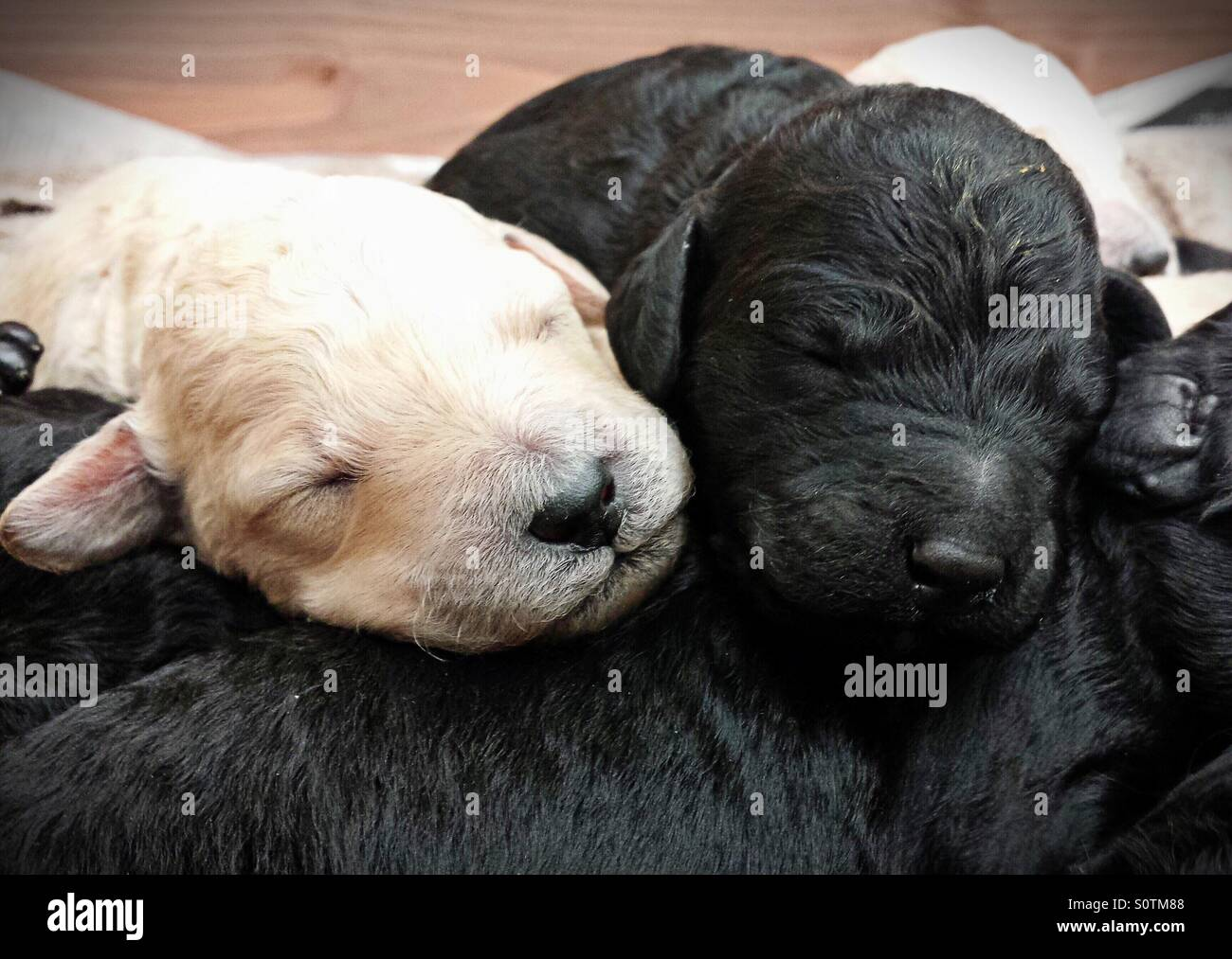 Week old Labradoodle puppies - Stock Image