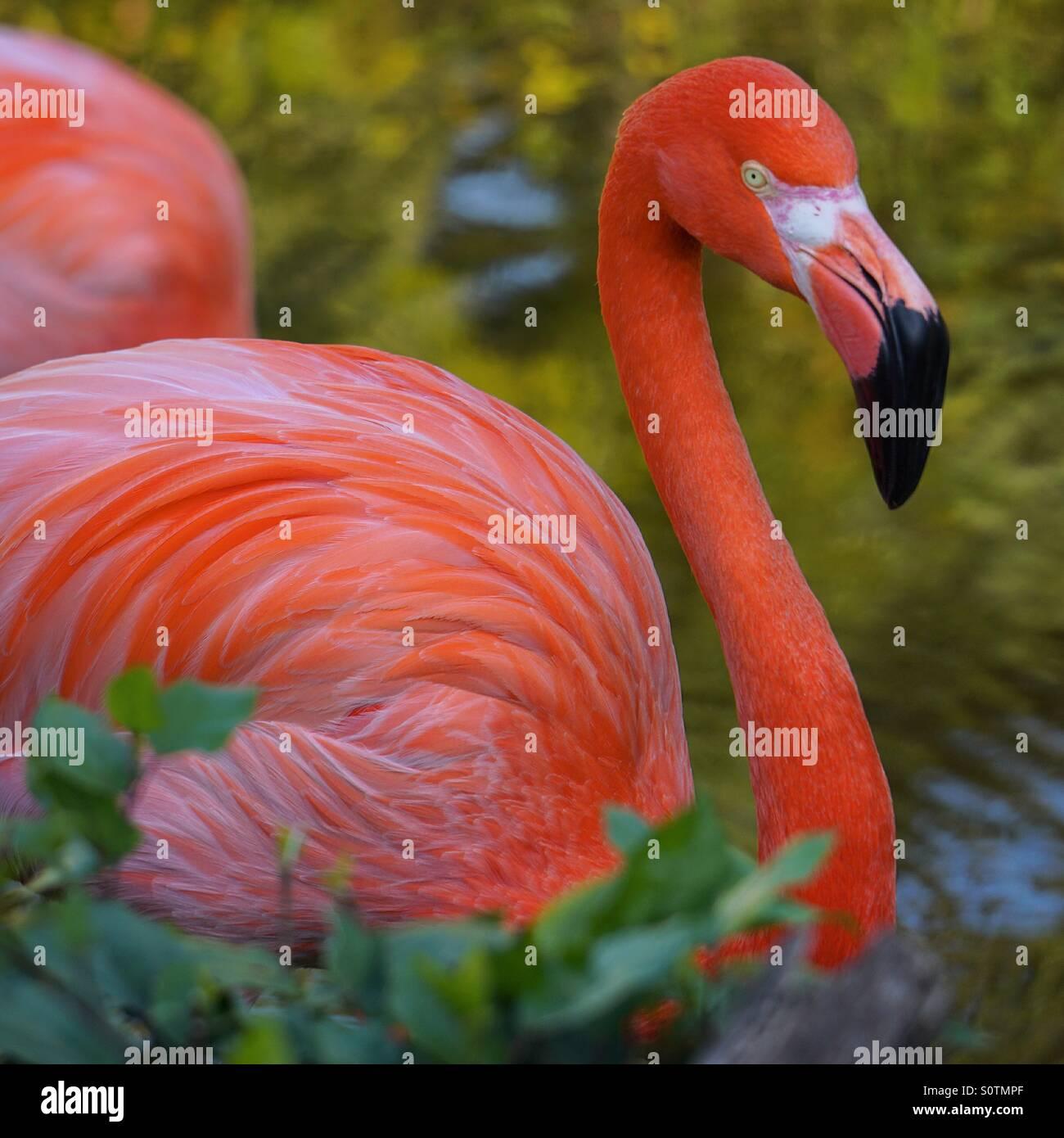 Pink Flamingo - Stock Image